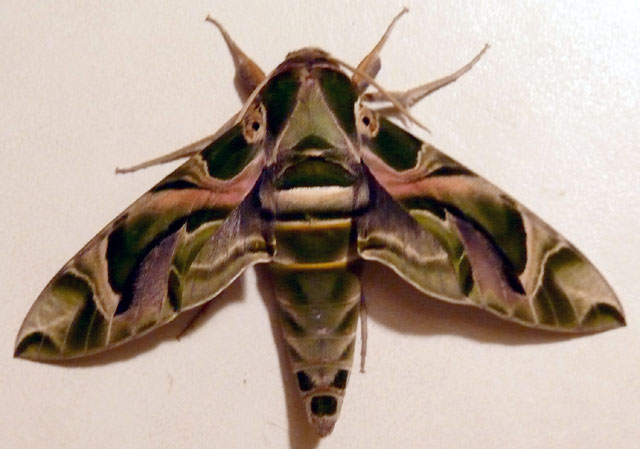 Oleander hawk moth iron man