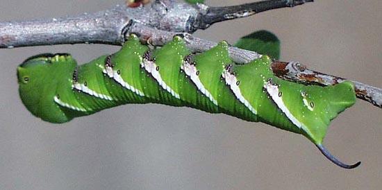 Sưu tập Bộ cánh vẩy 2 - Page 18 Sphinxlibocedrus5lgfbw