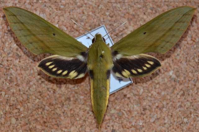 Sưu tập Bộ cánh vẩy 2 Xylophanescrotonis91mmMeridaVenezuelaMarch20012050mjra