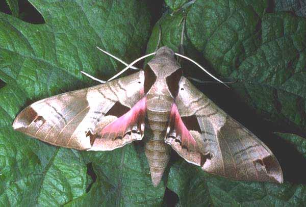 Achemon Sphinx Moth